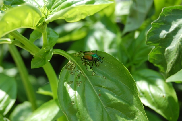Japanese Beetle enjoying some of our basil