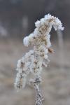 Hoar frost on goldenrod