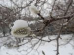 Magnolia buds - Leonard Messel Magnolia (Magnolia x loebneri)