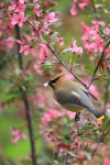 Cedar Waxwing - Photo by Rick House