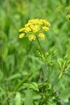Zizia aurea (Golden Alexander)