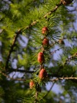 Red Tamarack Cones