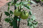 'Royal Chico' Tomatoes