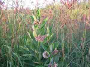 Milkweed and Big Bluestem