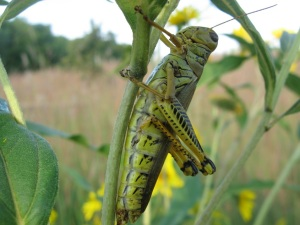 Grasshopper on Sunflower