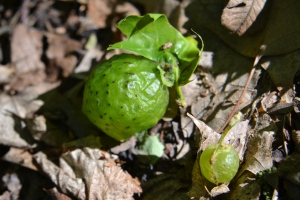 Oak Apple Gall