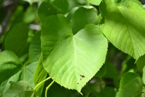 Basswood, Tilia americana