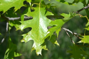 Red Oak, Quercus rubra
