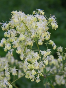 Tall Meadow Rue Flowers