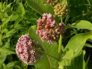 Common Milkweed Flower