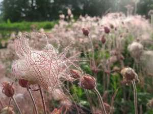Prairie Smoke Flowers and Seed Heads