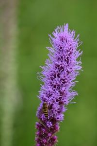 Prairie Blazing Star (Liatris pycnostachya)