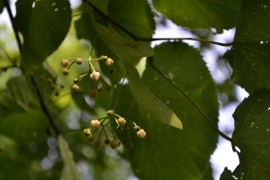 Basswood fruit (Tilia americana)