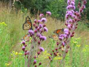 Monarchs and Blazing Star