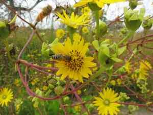 Prairie Dock and Honeybees