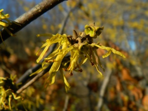DSCN6593 Witch hazel single flower