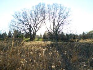 DSCN6645 Birch trees