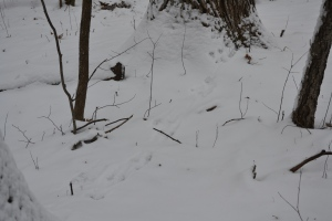 Grey Squirrel Tracks