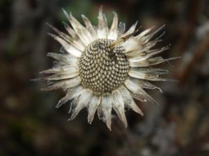 Coneflower Seedheads