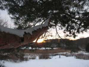Scotch Pine and Disappearing Sun