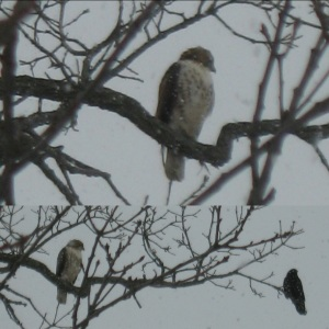 Crow Harassing Red-tailed Hawk