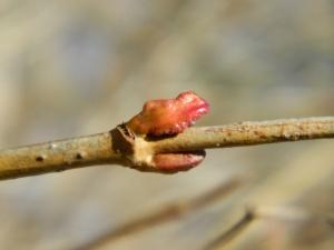American high-bush cranberry