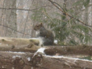 Gray Squirrel and Snow