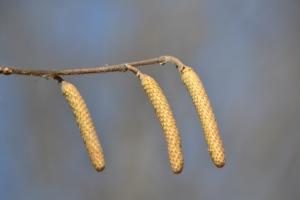 Paper Birch catkins (Betula papyrifera)