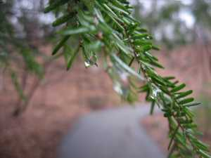 Hemlock Needles and Water Drops