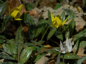 Yellow and White Trout Lilies