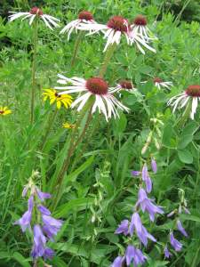 Black-eyed Susan and Purple Coneflower