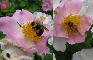 Bumblebee and Honey Bee