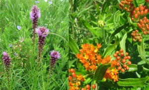 Liatris and Butterfly Weed