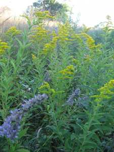 Giant Blue Hyssop and Goldenrod