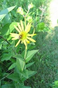 Rosinweed and Bumblebee