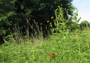 Big Bluestem, Cup Plant and Monarch