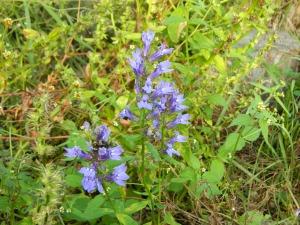 Blue lobelia