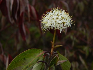 Red-osier flower