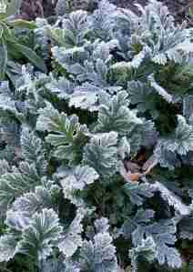 Frost on Prairie Smoke