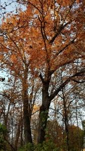 Mighty Red Oak