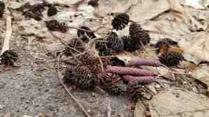 Speckled Alder Cones and Catkins