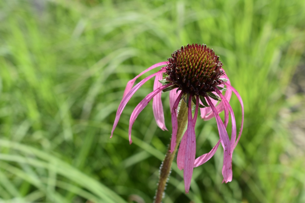 DSC_0618 Pale purple coneflower