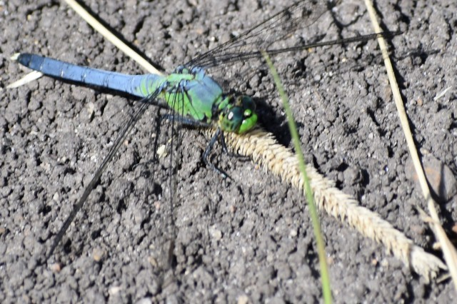 DSC_0742 common pondhawk cropped