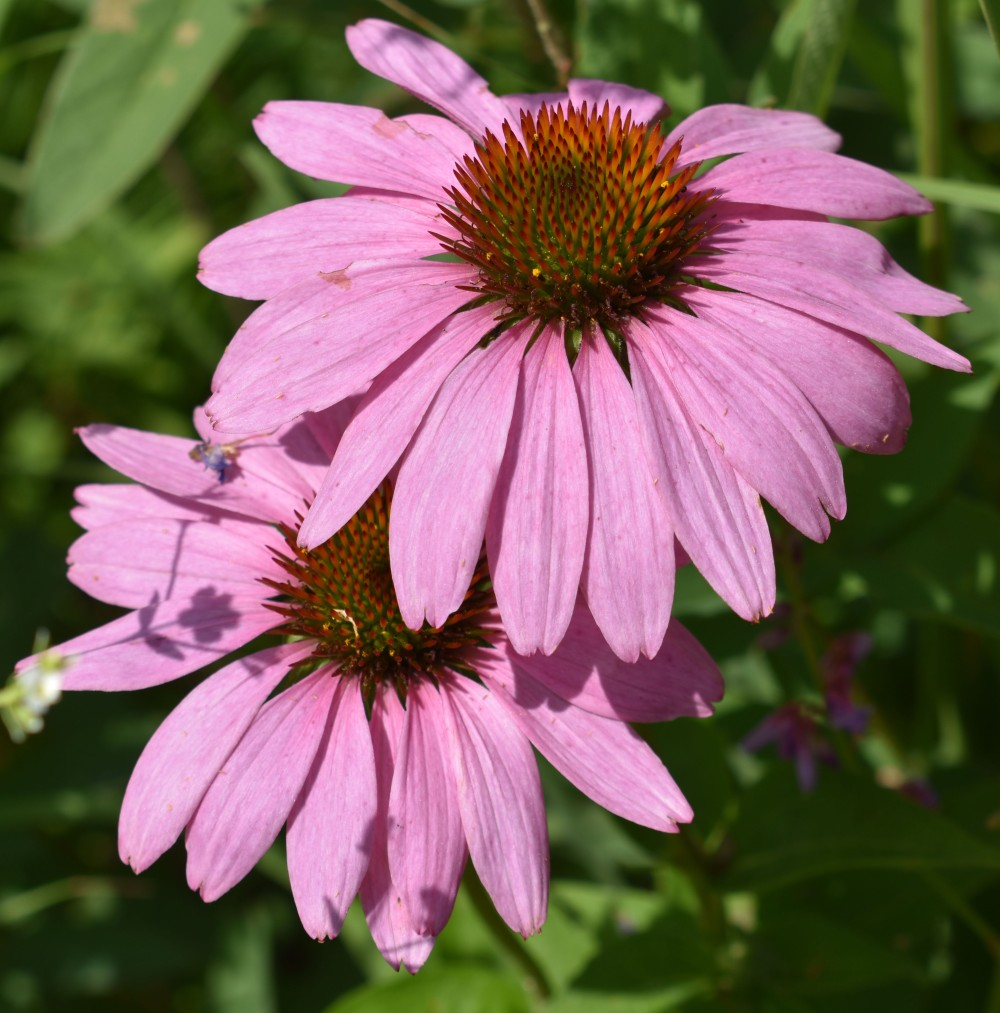 DSC_0150 purple coneflower cropped