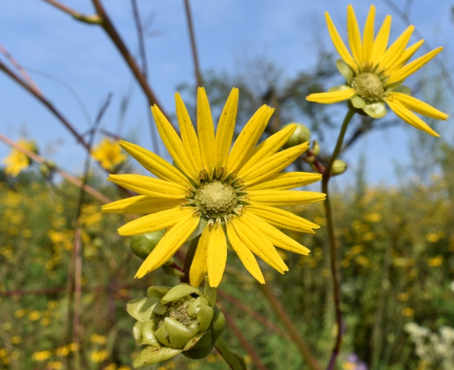 DSC_0114 prairie dock flower