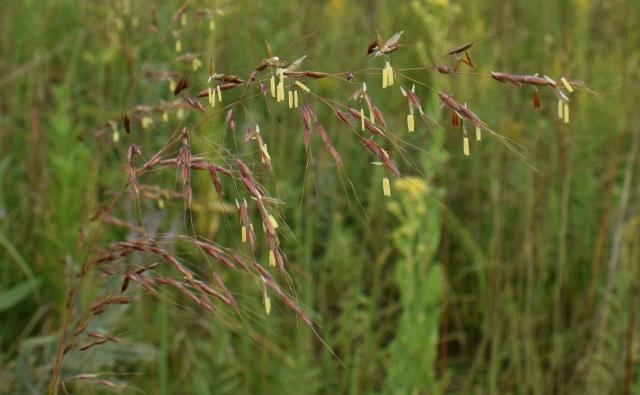 DSC_0323 Indian grass flower cropped