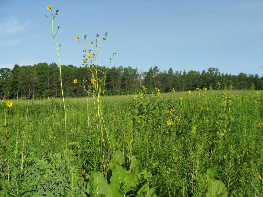 Prairie Dock and Cup Plant
