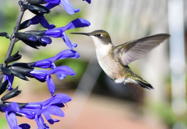 DSC_0550 Hummingbird cropped
