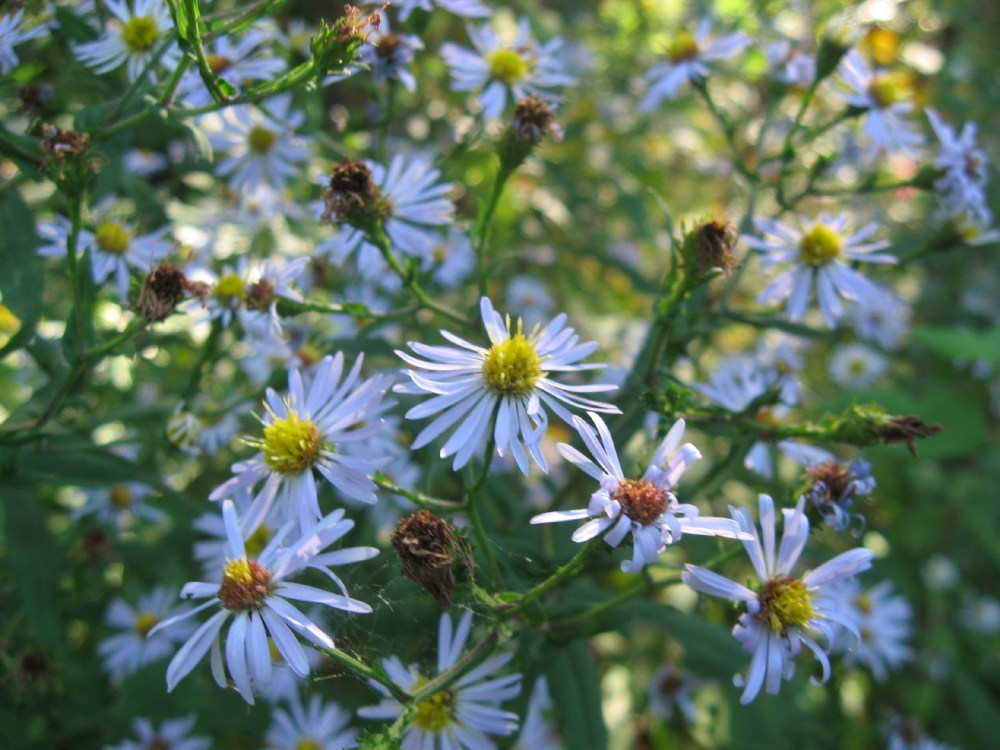 Pale Blue Aster