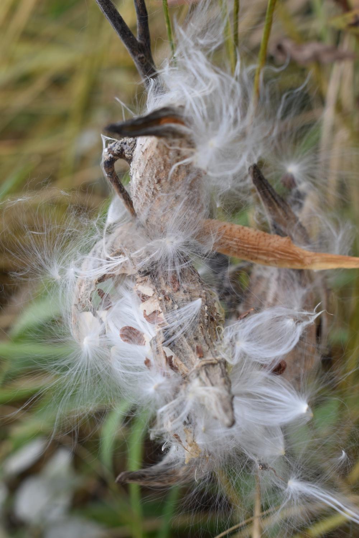 DSC_0035 milkweed pods and seed